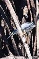 Butorides striata - Manado (1).JPG