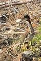 Butorides virescens (7861130166).jpg