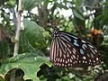 Butter fly in Itami greenhouse 7.jpg