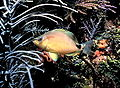 Butter hamlet fish.jpg