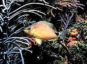 Butter hamlet fish