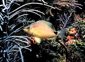 Hypoplectrus unicolor - Image: Butter hamlet fish
