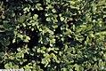 Buxus x Green Mountain 2zz.jpg