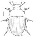 COLE Hydrophilidae Tormus sp2.png