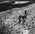 COLLECTIE TROPENMUSEUM Het ploegen van een sawa met een span runderen in de omgeving van Mas TMnr 60024451.jpg