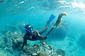 CSIRO ScienceImage 11209 Diver catching a rock lobster.jpg