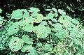 CSIRO ScienceImage 501 The Stinging Tree Northern Queensland.jpg