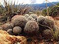 Cactus (16141004077).jpg