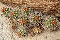 Cactus Flowers in Joshua Tree National Park (3432965189).jpg