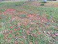 Caesalpinia pulcherrima flowers in ground 02.jpg