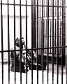Caged animal black and white, 01-1976.jpg