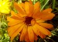 Calendula arvensis 19.png