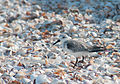 Calidris alba on Margarita island 7.jpg