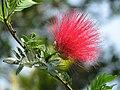 Calliandra haematocephala by Karunakar Rayker.jpg