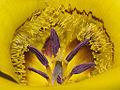 Calochortus clavatus - Flickr 007.jpg
