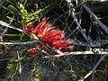 Calothamnus quadrifidus homalophyllus (flowers).JPG