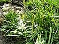 Camassia leichtlinii - Botanischer Garten Freiburg - DSC06448.jpg