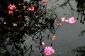 Camellia Petals Floating On A Pool. RHS Wisley Surrey UK.jpg