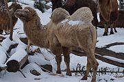 Camelus bactrianus in Zurich Zoo 7.jpg