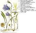 Campanula persicifolia Lindman DESC.jpg