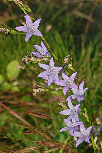 Campanula rapunculus - Image: Campanulaceae Campanula rapunculus