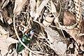 Campsosternus mirabilis (34864974183).jpg
