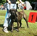Canary Mastiff brown-brindle.JPG