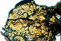Candelaria concolor.jpg