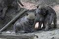 Canis lupus arctos - Tiergarten Schönbrunn.jpg