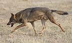Canis lupus signatus - 01.jpg