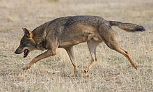 Photograph of a wolf trotting across a grassy field