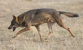 Canis - Image: Canis lupus signatus 01