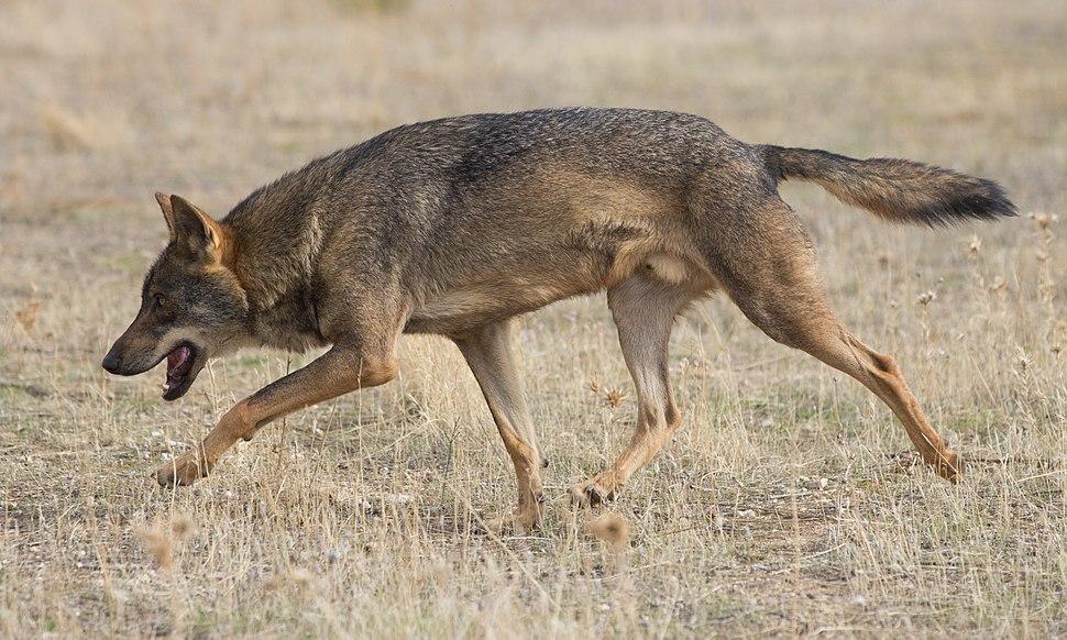 Canis lupus signatus - 01