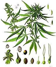 http://upload.wikimedia.org/wikipedia/commons/thumb/f/f9/Cannabis_sativa_-_K%C3%B6hler%E2%80%93s_Medizinal-Pflanzen-026.jpg/190px-Cannabis_sativa_-_K%C3%B6hler%E2%80%93s_Medizinal-Pflanzen-026.jpg