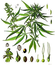 Illustrazione di Cannabis sativa