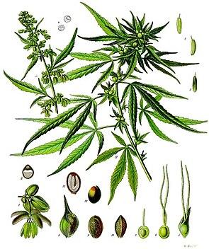 Cannabis sativaIllustration