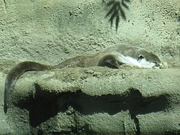 Cape Clawless Otter.jpg