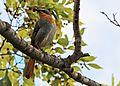 Cape robin in tree.jpg