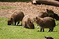 Capybara at Twycross Zoo-4.jpg