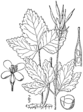 Cardamine diphylla BB-1913.png