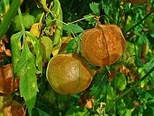 Cardiospermum halicacabum 06.jpg