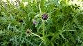 Carduus crispus in Yerevan 02.jpg