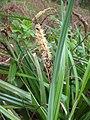 Carex acutiformis inflorescens (48).jpg