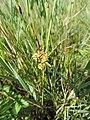 Carex extensa kz04.jpg