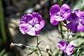 Carnation - Dianthus Kahori (13930088089).jpg