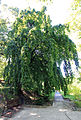 Carpinus betulus Prague 2013 2.jpg