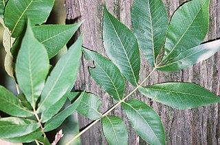 <i>Carya laciniosa</i> species of plant
