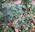 Cassia Tora (old plant).JPG