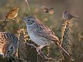Cassins sparrow From The Crossley ID Guide Eastern Birds.jpg