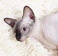 Cat - Sphynx. img 085.jpg